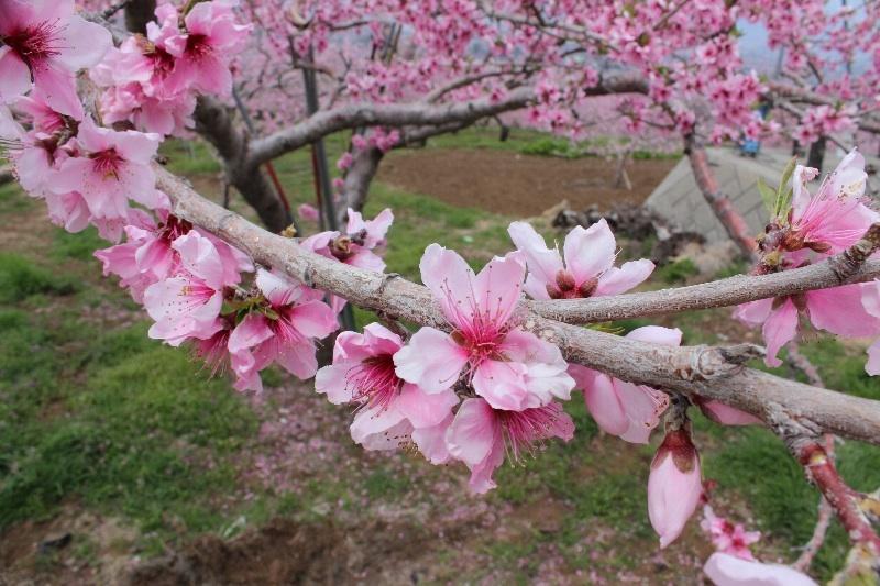 o0800053312912437505 山梨 石和桃の花まつり♪