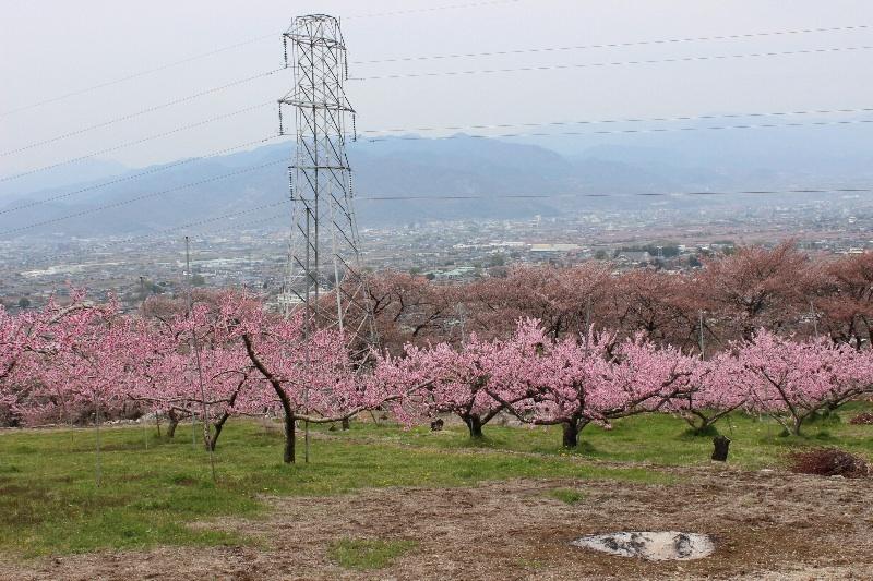 o0800053312912438525 山梨 石和桃の花まつり♪