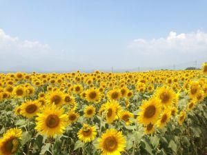 image5 e1406357737277 300x225 夏の花畑!明野のひまわり畑「サンフラワーフェス」の3つの魅力♡