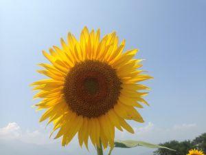 image6 e1406357906772 300x225 夏の花畑!明野のひまわり畑「サンフラワーフェス」の3つの魅力♡