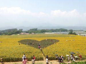 image8 300x225 夏の花畑!明野のひまわり畑「サンフラワーフェス」の3つの魅力♡