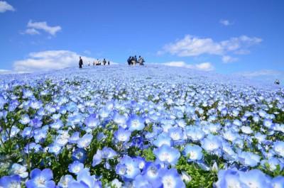 ネモフィラ 400x264 空よりも青い!ブルーが広がるネモフィラの丘