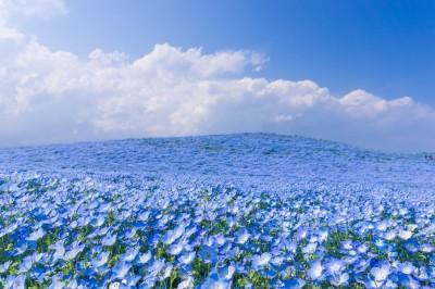 ネモフィラ2 400x266 空よりも青い!ブルーが広がるネモフィラの丘