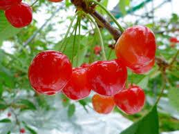 さくらんぼ狩り フルーツの宝石サクランボと癒されハーブ園♪