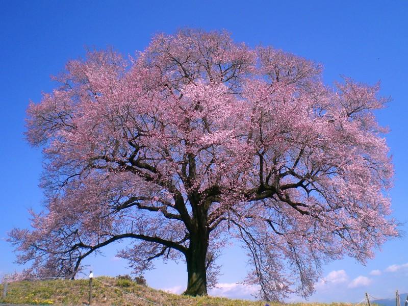 わに塚の桜 先取り!【春の絶景】桜のトンネルやカラフル絨毯♪