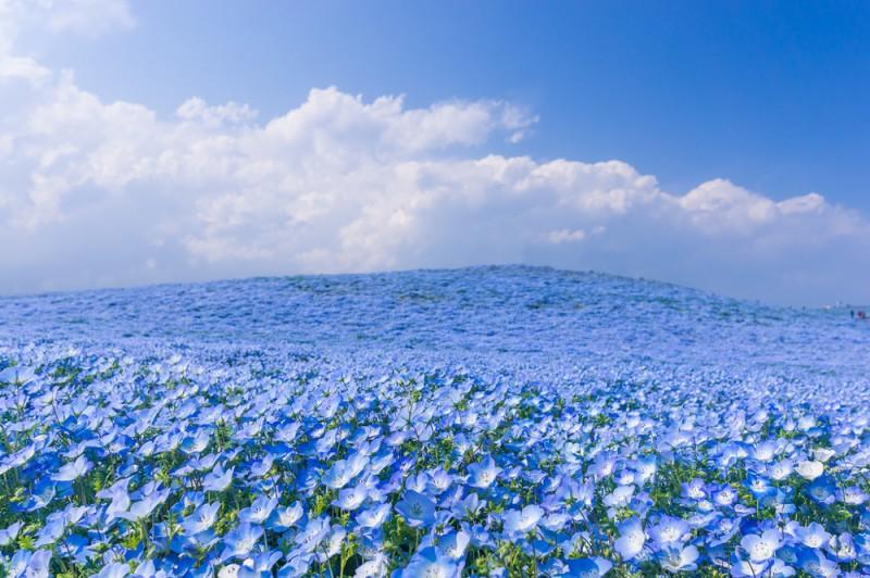 ネモフィラ・ひたち海浜公園 先取り!【春の絶景】桜のトンネルやカラフル絨毯♪