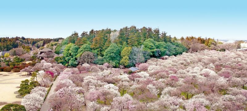 水戸偕楽園・梅まつり 先取り!【春の絶景】桜のトンネルやカラフル絨毯♪