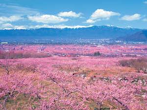 笛吹桃源郷 先取り!【春の絶景】桜のトンネルやカラフル絨毯♪