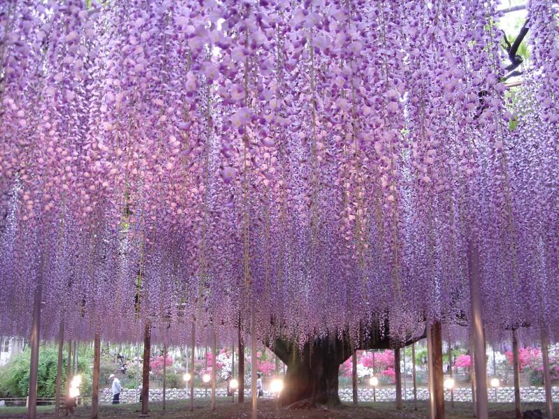 藤・あしかがフラワーパーク 先取り!【春の絶景】桜のトンネルやカラフル絨毯♪