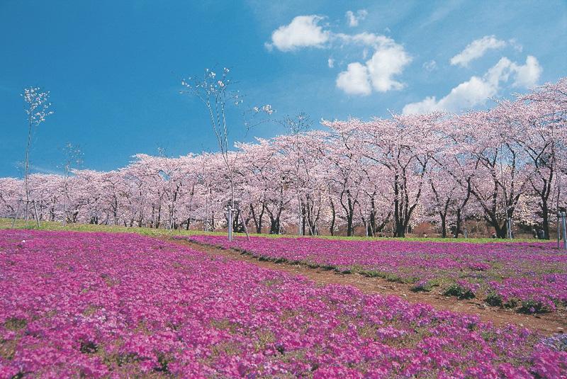 赤城千本桜・群馬・芝桜 先取り!【春の絶景】桜のトンネルやカラフル絨毯♪