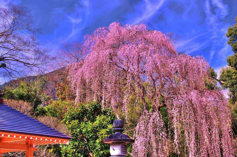 身延山久遠寺・しだれ桜 先取り!【春の絶景】桜のトンネルやカラフル絨毯♪