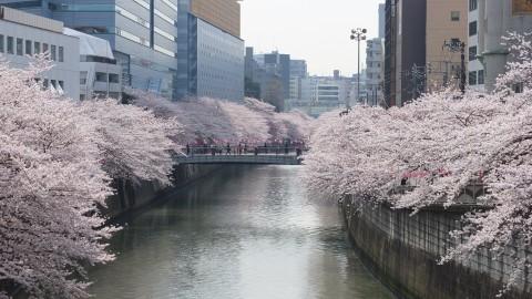 目黒川桜 春が待ち遠しい!美景の関東さくらスポットまとめ