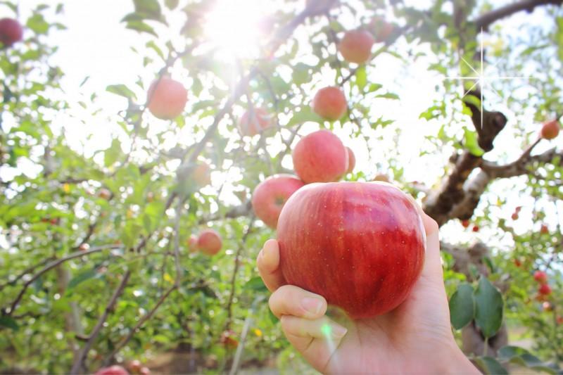 りんごの街・弘前で秋のアップルパイめぐり。